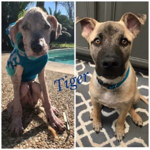 dog before and after mange treatment